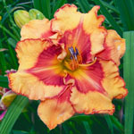 Pointed Perfection Reblooming Daylily