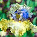 Let Evening Come Bearded Iris