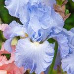Navajo Jewel Bearded Iris