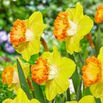 Gosia Daffodil
