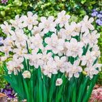 Snowball Daffodil