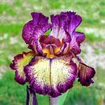 Rainbow Iris Collection