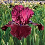 Spring Spectrum Iris Collection