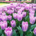Light and Dreamy Tulip