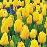 Golden Parade Tulip