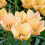 Bronze Charm Tulip