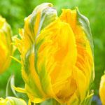 Jan van Nes Parrot Tulip