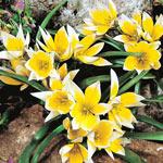 Golden Charm Tulip