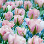 China Town Tulip