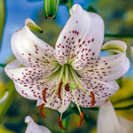 White Twinkle Lily