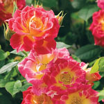 Rose Tiddly Winks™