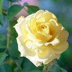 Chantilly Cream™ Hybrid Tea Rose