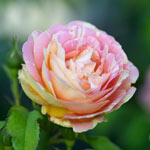 Pop Art ™ Grandiflora Rose
