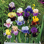 Two-Tone Bearded Iris Mixture