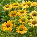 Mellow Yellow Coneflower
