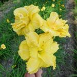 Yellow Submarine Daylily