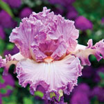 Social Graces Bearded Iris