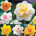Deluxe Double Daffodil Collection
