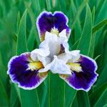 Bitty Beauty Dwarf Bearded Iris