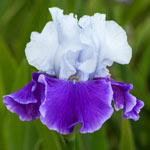 Snow Melt Reblooming Bearded Iris