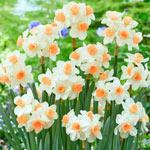 Kapiti Peach Daffodil
