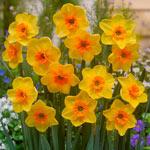 Anfield Daffodil