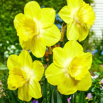 Fellows Favorite Daffodil