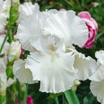 Twice as Nice Reblooming Iris Collection