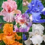Reblooming Bearded Iris Collection