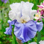 Award Winning Bearded Iris Collection