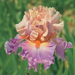 Discovered Treasure Bearded Iris