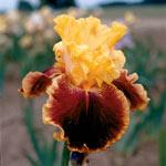 Mexican Holiday Bearded Iris