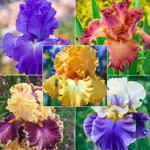 Ruffled & Laced Bearded Iris Collection