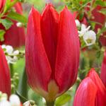 Red Purissima Tulip