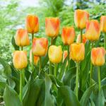 Desert Sun Tulip