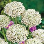 Carefree Allium Collection