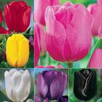 Prize Dutch Tulip Collection