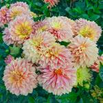 Garden Desire Dahlia