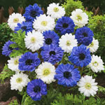 Double Daisy Anemone Blue and White Mixture