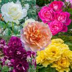 Our Choice Jumbo Floribunda Rose
