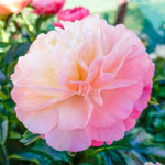 Coral Sunset Peony Collection