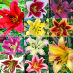 Ultimate Lily Tree® Collection