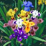 Dazzling Dwarf Iris Mixture