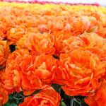 Monte Orange Tulip