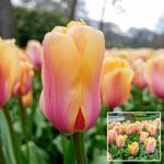 Blushing Impression Tulip