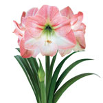 Apple Blossom Amaryllis Bulb