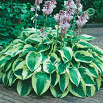 Breck's® Many Shades of Hosta Collection