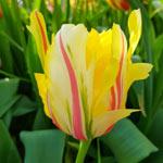 Frejus Tulip