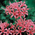 Japanese Spider Lily