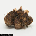 Cascading Splendor Begonia